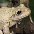 danger-frog